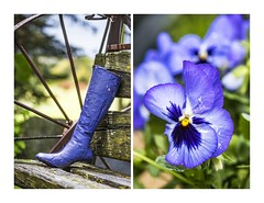 And a Purple Pansy to Boot! (red stilletto) Tags: oakdenewinery oceangrove wallington garden gardens blue purple flower flowers pansy boot shoe famousflickrfive colourpalettes rain waterdroplets