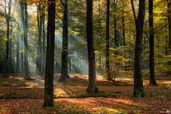 When the sun shines in a misty forest (BraCom (Bram)) Tags: bracom sunrays zonnestralen herfst fall autumn forest bos woods tree boom leaves bladeren foliage gebladerte mood sfeer breda mastbos noordbrabant nederland netherlands holland canoneos5dmkiii canon canonef24105mm bramvanbroekhoven nl