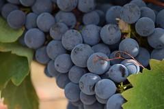 Grow (luus_nagtegaal) Tags: grapes druiven vakantie holiday frankrijk france wijn wine
