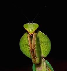 Hooded Mantis Nymph (Rhombodera sp., Mantidae) (John Horstman (itchydogimages, SINOBUG)) Tags: insect macro china yunnan itchydogimages sinobug praying mantis nymph hooded mantidae green black topf25 topf50