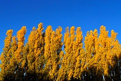 Les peupliers (sergecos) Tags: paysage landscape arbre tree graphisme graphic couleur color peuplier jaune bleu blue yellow sony automne fall
