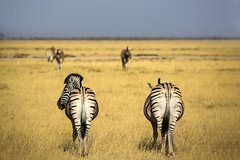 Turn around..they are taking some pictures! (carlos.aantunes) Tags: zebra yellow plains etocha etosha namibia africa wild wildscape stripes full body grass amazing view back