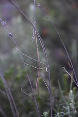 Insecto palo (esta_ahi) Tags: castellvdelamarca insectopalo stickinsect phasmatodea insectos fauna peneds barcelona spain espaa