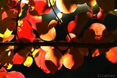 Fall in love (nathaliedunaigre) Tags: leaves feuilles fall automne autumn nature colors couleurs colored color branches arbre tree details dtails proxi macro lumire light sun soleil sunny ensoleill