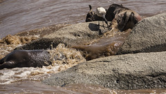 Easy pickings (Mara River) (JoCo Knoop) Tags: tanzania serengeti marariver