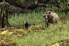 Coastal Female Grizzly Bear with first year cub (Alan Vernon.) Tags: brown bear coastal ursus arctos horribilis mature female sow mother young immature first year cub grass sedge sedges eat eating nature wildlife wild mammal american bears omnivore predator shore