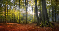 Ray of Light (MartinFechtner-Photography) Tags: autumn trees leaves forest tree beautiful fall leaf colours sunrays fujifilm grn sonne herbst wald bume sonnenlicht wetter 1024mm fujinon teutoburger osnabrueck herbstfarben xt2 allemagne    herfst autunno efterret otoo hst jesie  arbre  rbol arbres  rboles albero  rvore aa boom trd rosids fabids fagales fagaceae fagoideae buchen rotbuche  faia kayn beuken  bok fagus ladrido corce corteccia schors landschaft outdoor baum pflanze germany
