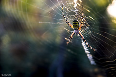 SPIDER (jopas2800) Tags: spider macro animal nature sunny reflexes nikond610 nikon2485284