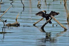 Double Crested Cormorant & soft shelled turtle (ritchey.jj) Tags: cormorant