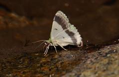 Herochroma sp. (Pasha Kirillov) Tags: moth lepidoptera sarawak malaysia borneo geometridae geometrinae gununggading taxonomy:order=lepidoptera geo:country=malaysia herochroma