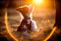 Puppy training (33/50) (Stuart Stevenson) Tags: uk autumn sunset dog field training puppy outdoors photography scotland canine lightleak harness beardedcollie goldenlight clydevalley stuartstevenson