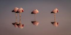 Laguna Chaxa (Arts, Chris) Tags: flamingo flamingos saltflats sanpedrodeatacama lagunachaxa losflamencosnationalreserve reservanacionallosflamencos chaxalagoon