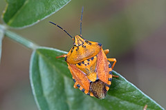 Carpocoris mediterraneus (BugsAlive) Tags: france macro nature animal insect outdoor wildlife insects ardeche shieldbug hemiptera pentatomidae carpocorismediterraneus pentatominae liveinsects