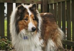 Happy National Dog Day from Ben! (~ Liberty Images) Tags: pet furry collie ben sable benedict herdingdog nationaldogday nobleben