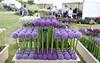 Alliums #2 (streetr's_flickr) Tags: plants gardens flowershow alliums herbaceousborder rhshydehallessex