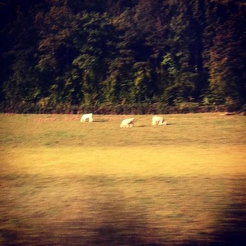 Par la fenêtre du  TGV, charollaises dans la campagne bourguignonne