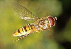 Hoverfly - Episyrphus balteatus (timz501) Tags: jersey hoverfly episyrphusbalteatus
