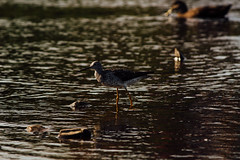 You cant spend  all your time wading on something  that mighnt come (Jon.the.canadian) Tags: light bird birds newfoundland dramatic greater waterfowl awe yellowlegs shorebirds avians