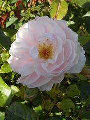 Rose in my garden (bryanilona) Tags: rose garden september dudley masterphotos flowerwatcher exceptionalflowers