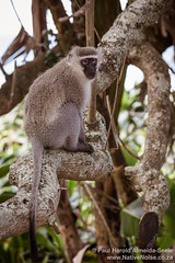 Wild Monkey in Southbroom, South Africa