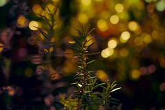 Nobody knows where my Rosemary goes....HSS (jenni 101) Tags: plant bokeh rosemary postprocess hss slidersunday