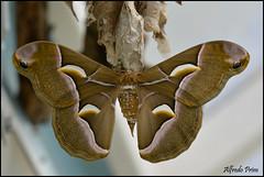 Samia cynthia (alfvet) Tags: macro ngc butterflies natura npc insetti farfalle veterinarifotografi