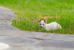 Blue-Eyed Kitten (d-harding) Tags: animals cat nikon kitten malaysia borneo kotakinabalu putatan d5100 nikond5100 sigma105mmf28macroexdgoshsm