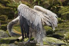 Blijdorp, Kroeskoppelikaan (Jan de Neijs Photography) Tags: bird pelikaan pelican pelecanuscrispus kroeskoppelikaan kroeskop blijdorp rotterdamsediergaarde rotterdamzoo rotterdam vogel diergaardeblijdorp dierentuin dierenpark