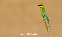 Colors of Nature (Jawad_Ahmad) Tags: blue pakistan nature beautiful birds natural bee birder tailed eater naturephotography naturelover sialkot birdslover birdsphotography