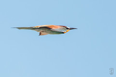 Bee-eater (Merops apiaster)-4885.jpg (Stein Arne Jensen) Tags: 2 muro canon is spain son arne usm fugl mallorca stein islas ef jensen baleares bosc salbufera 100400 flyr meropidae 70d f4556l bieter bietere nringssk rkefugler