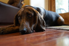 waiting for an open door (-NateH.-) Tags: dog sony hound a7 blackandbrown plotthound sonya7