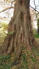 Dawn redwood (Alta alatis patent) Tags: tree delft trunk botanicalgarden dawnredwood metasequioaglyptostroboides chinesemoerascipres