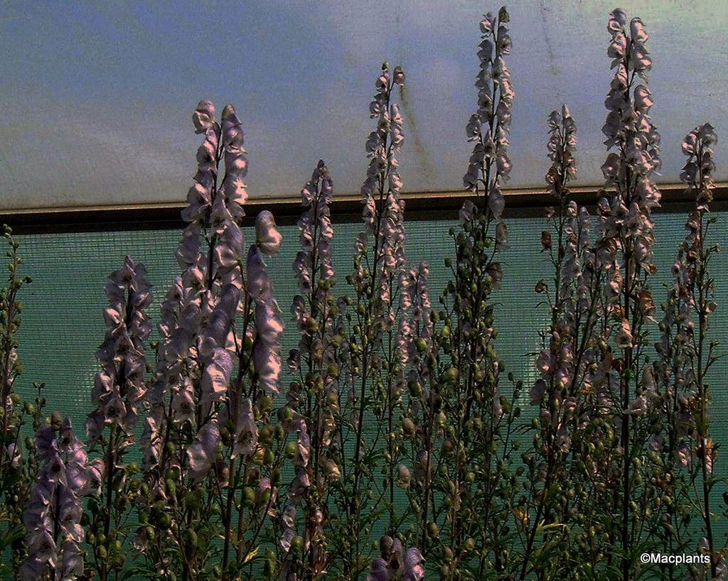 Aconitum 'Stainless Steel'