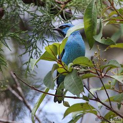 Blue Dacnis (Greg Miles) Tags: bluedacnis