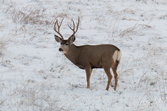 A smaller buck hangs out nearby but chose not to challenge
