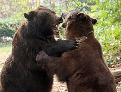 brown bear Ouwehands JN6A6716 (j.a.kok) Tags: beer bear bruinebeer brownbear ouwehands ouwehandsdierenpark ouwehandszoo igor