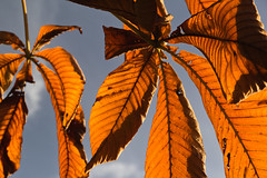 Aesculus hippocastanum (Keith in Exeter) Tags: autumn sky horse orange brown plant color colour tree fall nature golden leaf outdoor chestnut deciduous broadleaf ruddy aesculus palmate