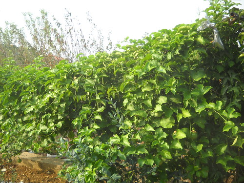 Passion Fruit Plant growing over 3m long Fruiting well a Oct 18, 2015
