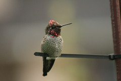 "Anna's Hummingbird   💓 (Honey Buster) Tags: abigfave ultimateshot ""flickraward5"""