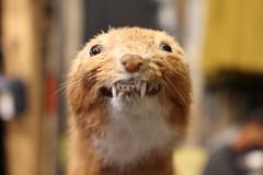 Say Cheeeeeese! (Freeman_Lowell) Tags: smile dead stuffed teeth stuffedanimal mink stuffedanimals grin grinning stiff saycheese deceased