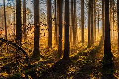 Caught the golden Light in the  Forest (*Capture the Moment*) Tags: blue autumn trees sun herbst himmel 50mm14 motive blau sonne bäume wetter landschaften settingsun abendstimmung 2015 leicalenses tagesjahreszeiten farbdominanz