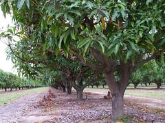 mareeba orchard4 (Parto Domani) Tags: trees tree sunshine alberi arbol arboles state farm australia orchard business arbres mango qld queensland aussie biz economic  albero bume economy arbre baum economics economia  agricoltura frutteto    agricolo coltivazione coltivazioni coltivare