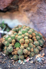 (Lesley Rivera) Tags: cactus plants color film cacti 35mm canon garden 50mm kodak bokeh small bunch botanic 18 bundle 2015
