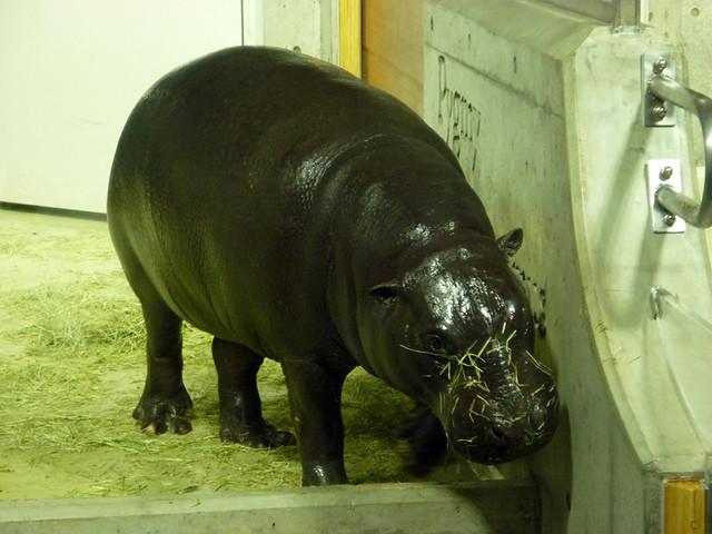 このコビトカバ、実は世界に3千頭しかいない珍しいカバ(パンダ。|いしかわ動物園