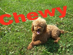 Chewy minature poodle