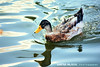 life goes on... (dimitra_milaiou) Tags: life nature water lake duck swim swimming blue day beautiful animal greece city athens park natural light nikon d d7100 7100 milaiou dimitra planet earth world reflections waves portrait 70210mm love europe bird live color colour ngc