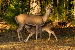 Just about weaned-- but not quite (Lindell Dillon) Tags: fawn deer whitetail wildlife nature oklahoma lindelldillon