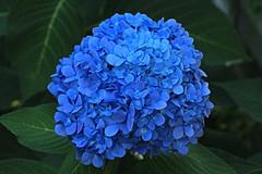 Blue Flower Macro (hbickel) Tags: blue flower macro macrolens canont6i canon photoaday pad
