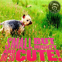 Good things come in tiny packages (itsayorkielife) Tags: yorkiememe yorkie yorkshireterrier quote