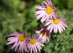 2-IMG_5956 (hemingwayfoto) Tags: aster berggartenhannover blhen blte blume garten herbstaster natur park pflanze pink